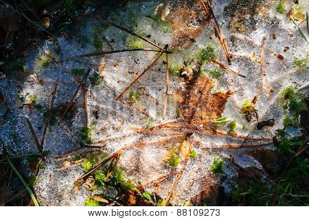 Ice with needles and grass, spring in the forest