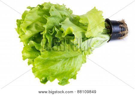 Lettuce Leaves In Pot