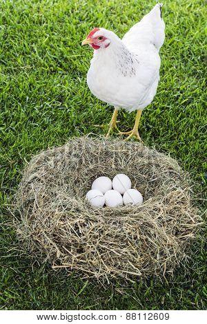 Free Range Hen With Eggs