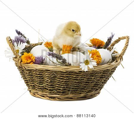 Chick Inside Basket With Eggs