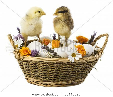 Chick On Basket With Eggs