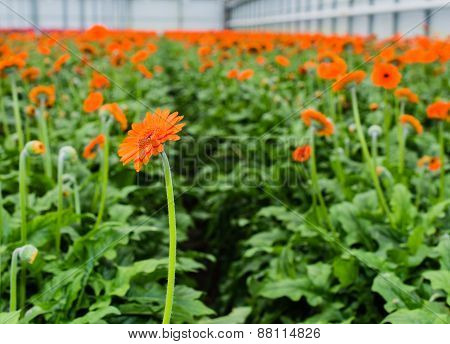 Orange Colored Gerbera Flowers With A Dark Heart