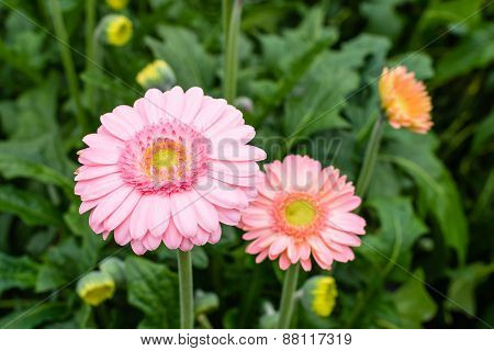 Pink Blooming Gerbera  Plants With A Yellow Heart