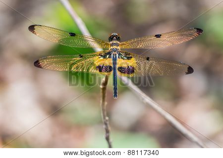Yellow-striped Flutterer Dragonfly