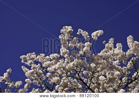 Pink prunus blossom branches