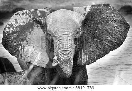 Elephant head in black & white