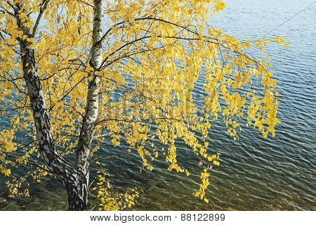 Yellow Birch Leaves On A Background Of Water.