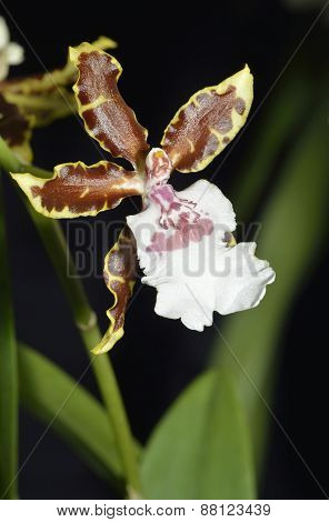 Oncidium Orchid Jungle Monarch