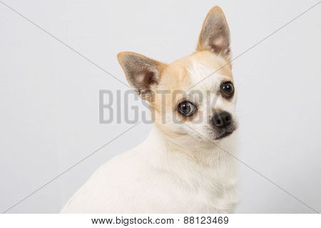 Closeup Portrait Of White  Chihuahua