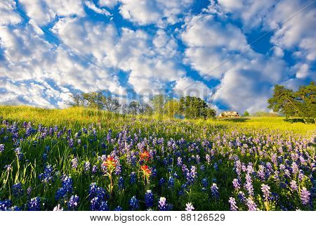 Bluebonnets In Late Afternoon Sun