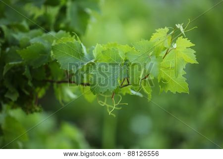 Branch Of A Grapevine