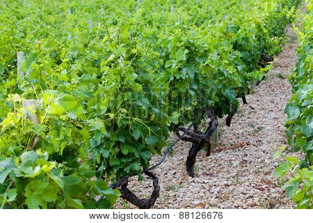Vineyard On The Island Hvar, Croatia.