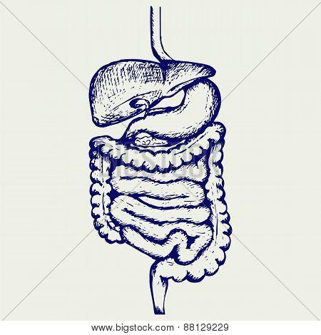 Internal human digestive system