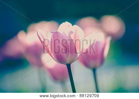 beautiful tulip flowers in garden, selective focus, retro colors
