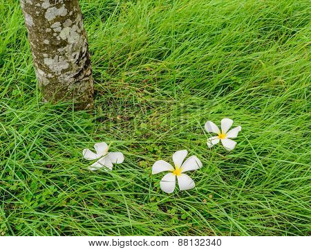 Plumeria Flower On Green Grass Field