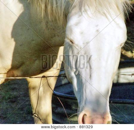 Sleepy White Horse