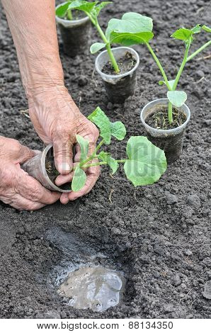 Farmer Planting A Cucumber Seedling In Series, 2 Of 4
