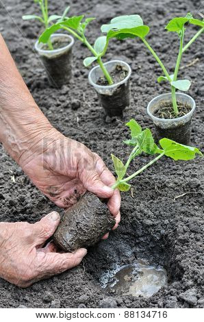 Farmer Planting A Cucumber Seedling In Series, 3 Of 4