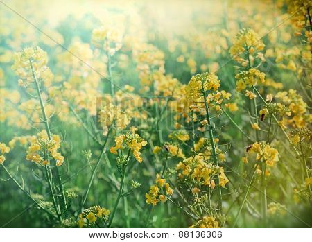 Rapeseed in spring