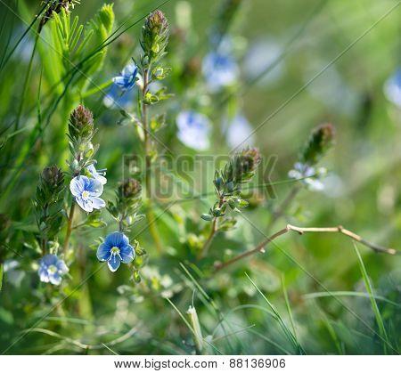 Little blue flowers in spring