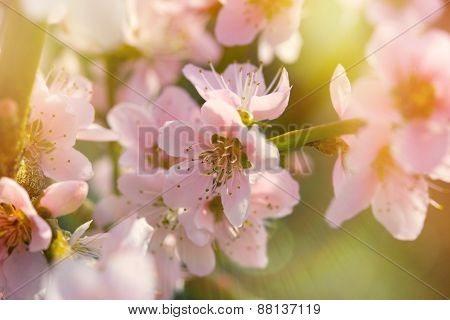 Soft focus on blooming branch