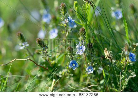 Springtime - Little blue flowers