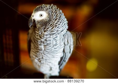 Congo African Grey Parrot Also Named Jaco