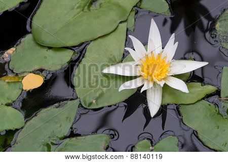 Pond With Blooming Water Lilies 2