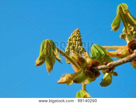 Spring Chestnut Bud On Sky Background