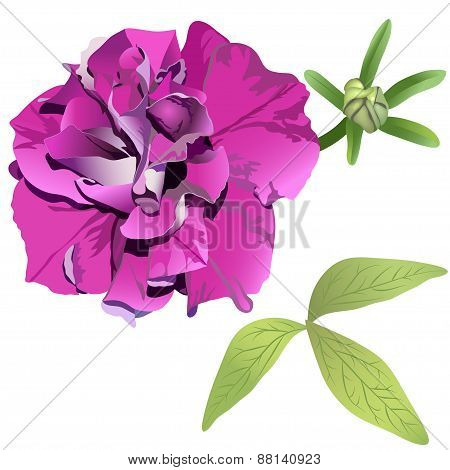 Photorealistic Purple Petunia Isolated On White Background With Leaves And Bud