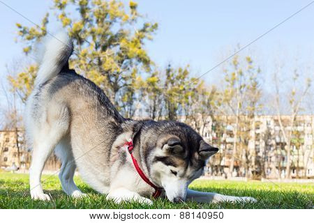 Siberian Husky catches the bee forepaws.