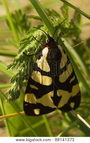 Cream-spot Tiger Moth - Epicallia Villica