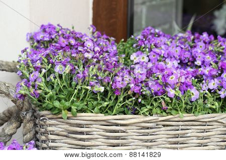 lobelia erinus in wicker basket
