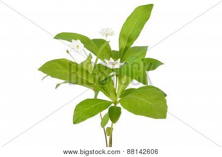 Trientalis Europaea Flowers