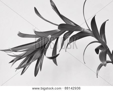 lily plant isolated. black and white