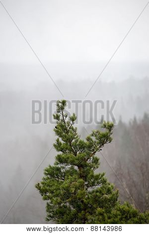 Spruce Tree With Cones In The Misty Rainy Weather