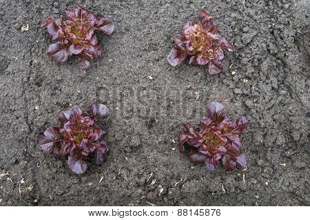 Recently Planted Red Lettuce Plants From Above