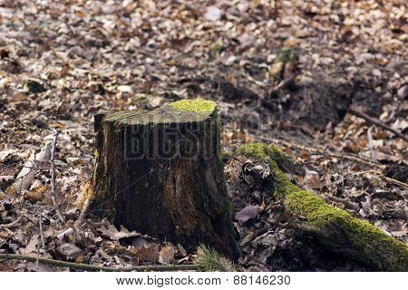 Mossy Old Tree Stump In The Woods