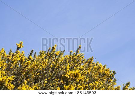 Gorse bushes and blue sky