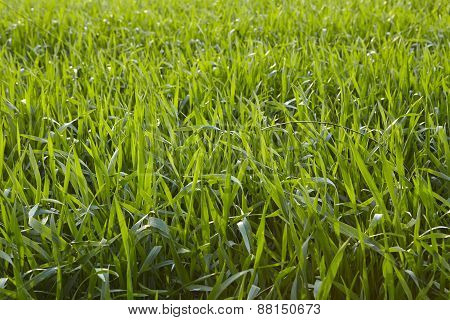 Agriculture - Corn Field