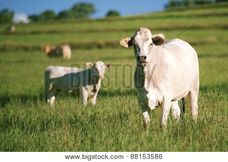 Group of cows with baby cow.