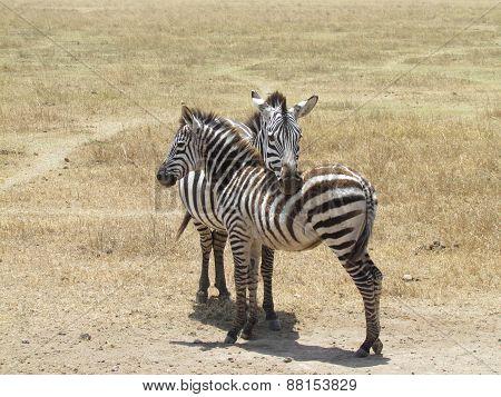 Zebra's love