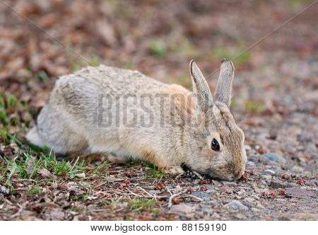Wild Rabbit Eating