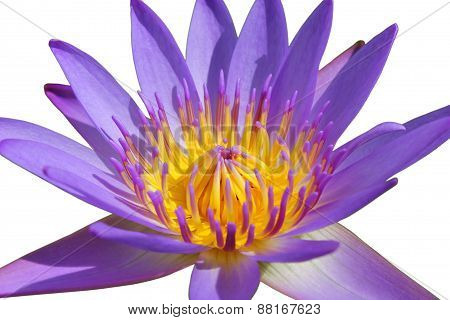 Closeup Beautiful Purple Water Lily Pollen Isolated on White Background