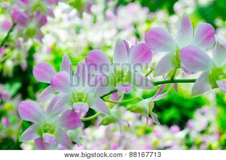 Orchids in the garden (Phalaenopsis Hybrid)