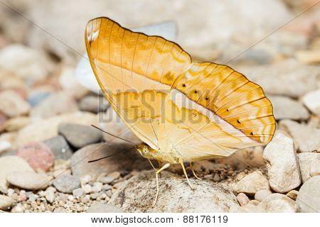Orange Large Yeoman Butterfly