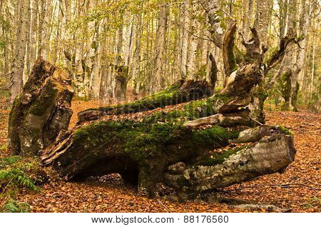 Autumn scene, log at forest opening with a lot of fallen leaves around, Radocelo mountain