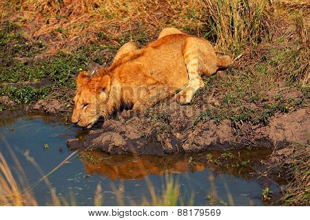 Young Lion Drinking Water, Masai Mara