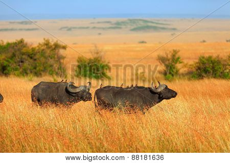 Buffalos In Masai Mara