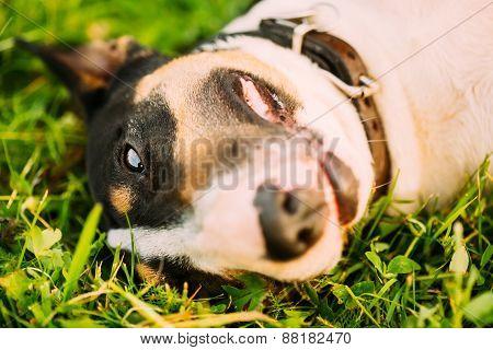 Close Pets Bull Terrier Dog Portrait At Green Grass